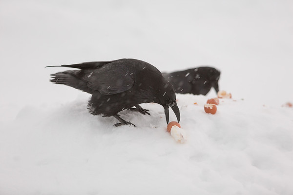 Two ravens eating eggs for breakfast in the falling snow.