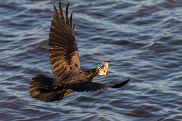 Raven in flight. Somewhat out of focus. Flying away with butter.