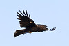 Raven in flight, one wing up.