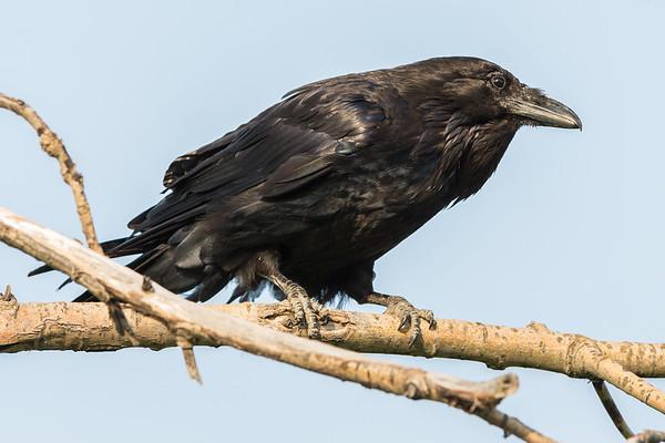 Raven on a branch.