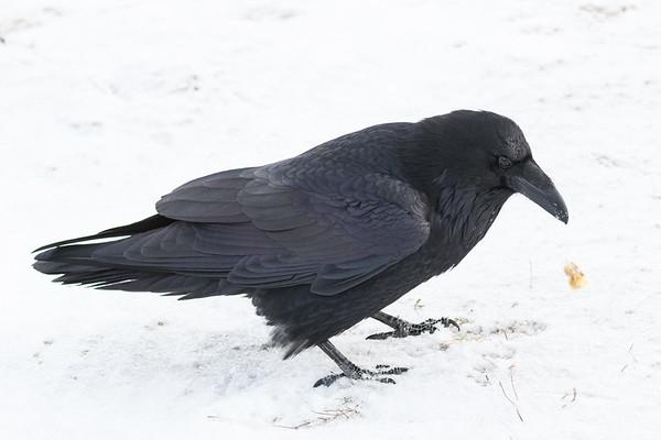 Raven on the snow. Snow on beak.