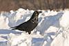 Raven standing on snowbank, looking ahead