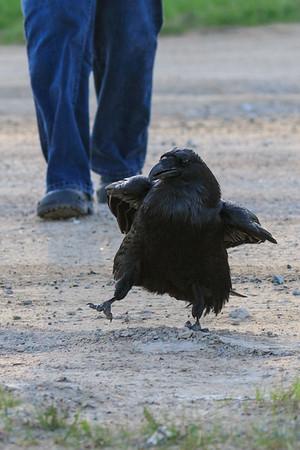 Raven leading Denise Lantz across the road. She is carrying eggs.
