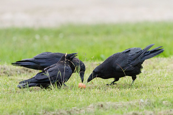 Adult (right) and two juvenile ravens examine an egg.