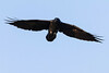 Raven in flight. Almost overhead, wings out.