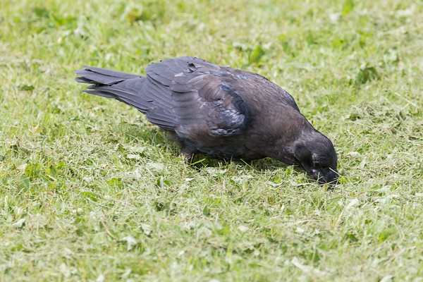 Juvenile raven searching through newly mown grass.