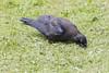 Juvenile raven searching through newly mown grass.