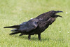 Raven on the ground, beak open.