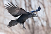 Raven in flight, feet extended, wings up, tail down, preparing to land.
