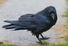 Wet raven on my front walk.