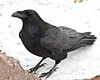 Raven standing on granite rocks along the Moose River at Moosonee