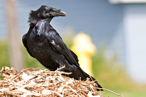 Raven sitting on pile of wood chips, head turned, slightly wind blown.