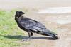 Juvenile raven near the edge of the lawn.