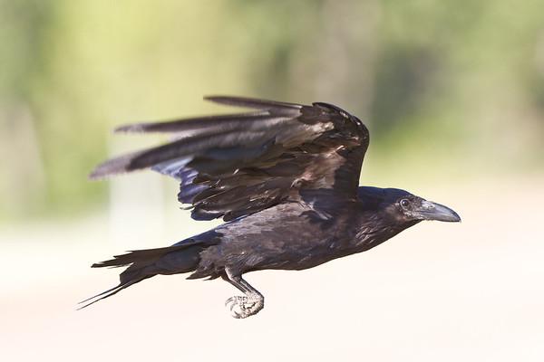Raven in flight, wings lifted.