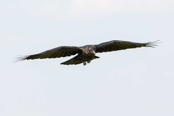 Juvenile raven in flight. Wings out.