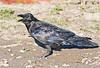 Raven, on ground, beak open, turned towards camera slightly.