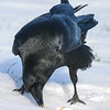 Raven eating an egg off the snow. 2004 November 11