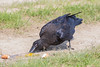 Juvenile raven eating egg yolk on the ground.