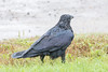 Wet raven on the lawn.
