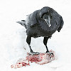 Raven standing on meat, meat in mouth, location of current feeding under bird's right foot, snow falling in frame, head angled