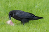 Raven with a piece of meat.