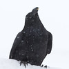 Raven in heavy snowfall 2011
