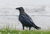 Wet raven after crossing the road.