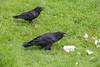 Raven enjoying lard while a second raven enjoys some grapes.