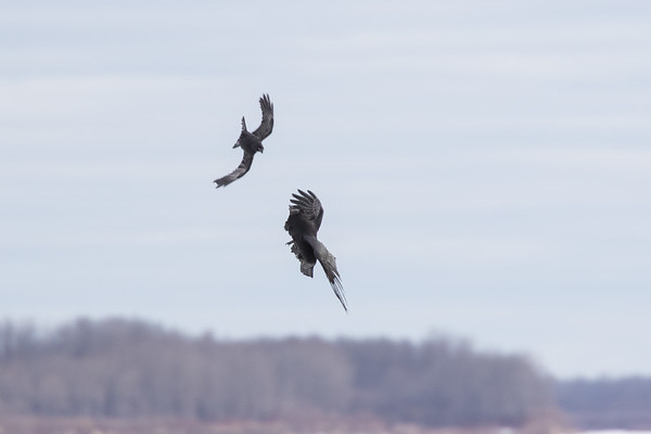 Crow (upper bird)  harrassing raven over the Moose River.