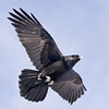 Raven overhead against mostly blue sky, one wing slightly up, other extended