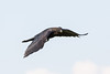 Juvenile raven in flight, one wing down.