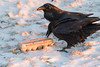 Two ravens on Christmas morning examing a carton of eggs. Tail of raven in foreground out of frame.