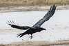 Raven in flight, close to ground, raining.