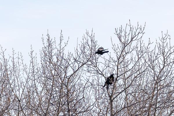 Crow harassing a raven in a tree in Moosonee.