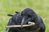 Juvenile raven picks up a stick. Egg white streaming from stick. Stick was in area where egg smashed.