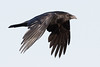 Raven in flight, wings down, cropped image.