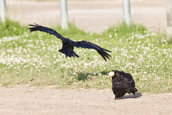 Crow harrassing raven on the ground.