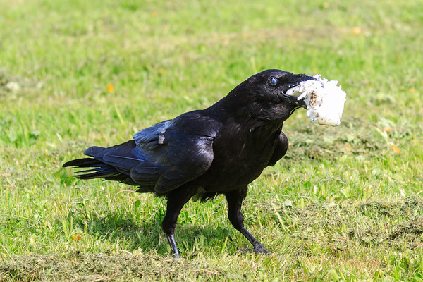 Raven eating lard. Nictating membrame partially covering eye.