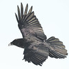 Raven in flight with snow on beak.