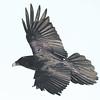 Raven in flight with snow on beak.