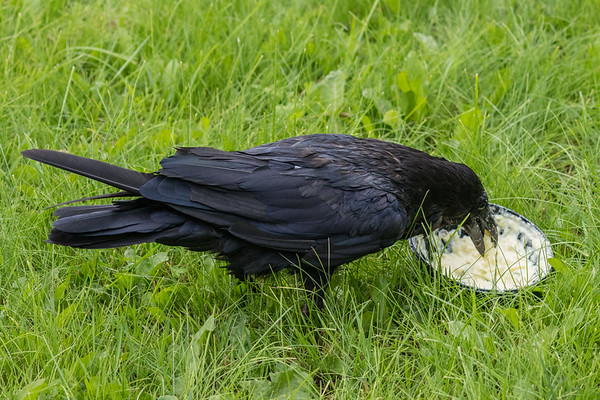 Raven eating potato salad.