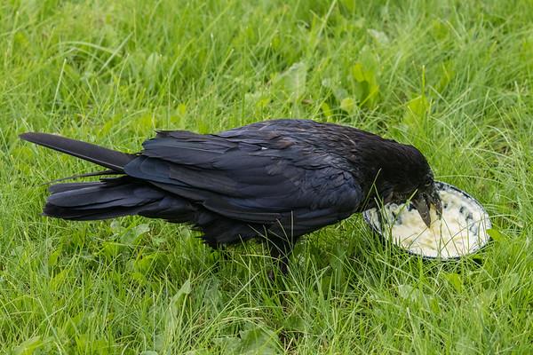 Raven eating potato salad.