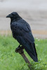 Raven on water shutoff.