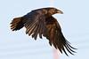 Raven, in flight, from side, wings down.