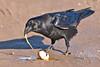 Raven eating egg on roadway.