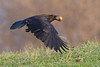 Raven in flight, egg in beak, close to ground.