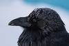 Headshot of frosted raven with dirty beak on a cold morning in Moosonee.