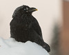 Raven with frost on snow on a cold morning. Egg yolk on beak. Nictating membrane over eye.