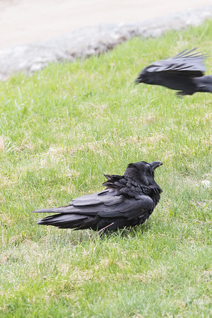 Raven on the ground being harrassed by crow in the air.