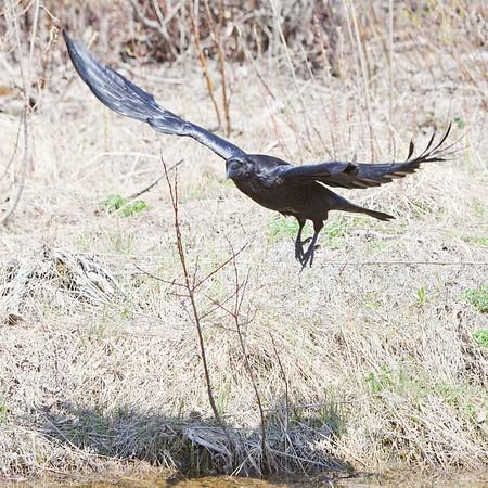 Raven in flight close to ground